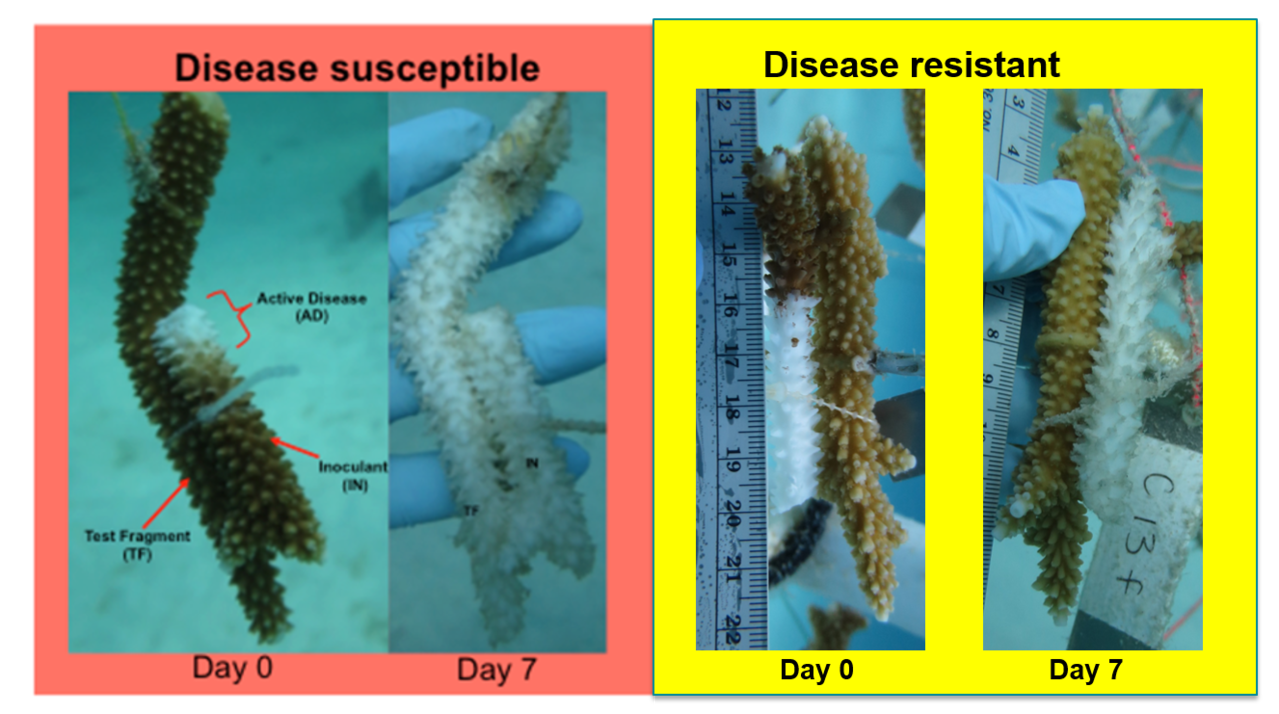 Disease assay of staghorn corals.