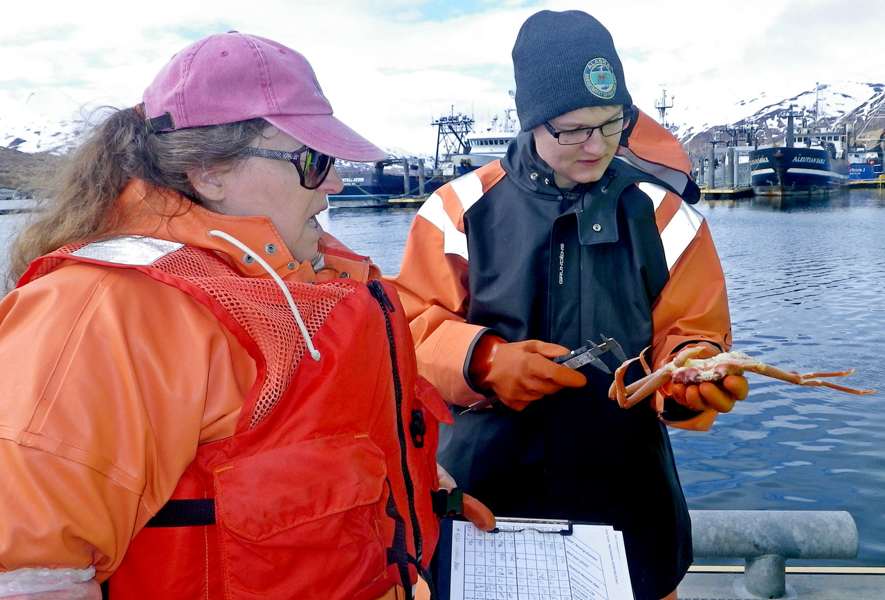 Pam Jensen (NOAA Fisheries) (left) and Nick Ellickson (Alaska Department of Fish and Game Observer) measuring a new-shell Tanner crab. Nick measures the carapace width of the crab and Pam records data and verifies the species and sex initially recorded during project setup are correct. Because Tanner and snow crabs have a terminal molt to maturity, it is possible to determine sexual maturity by examining and measuring the crabs. Females undergo a readily observable change in the relative size and shape of the abdomen (tail) when molting to maturity. The claw size in males that molt to maturity undergoes a disproportionately larger increase in size than the claw of molting males that remain sexually immature. Therefore, we are also measuring claw height of the pre- and post-molt males and noting the shape of the abdomen on females.
