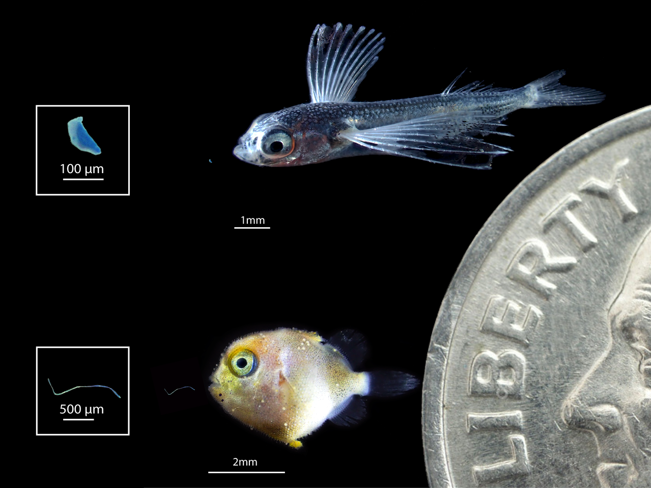 Larval flying fish (top) and triggerfish (bottom) with magnified plastics that fish ingested (left). Dime shown for scale. Photo: NOAA Fisheries/Jonathan Whitney.