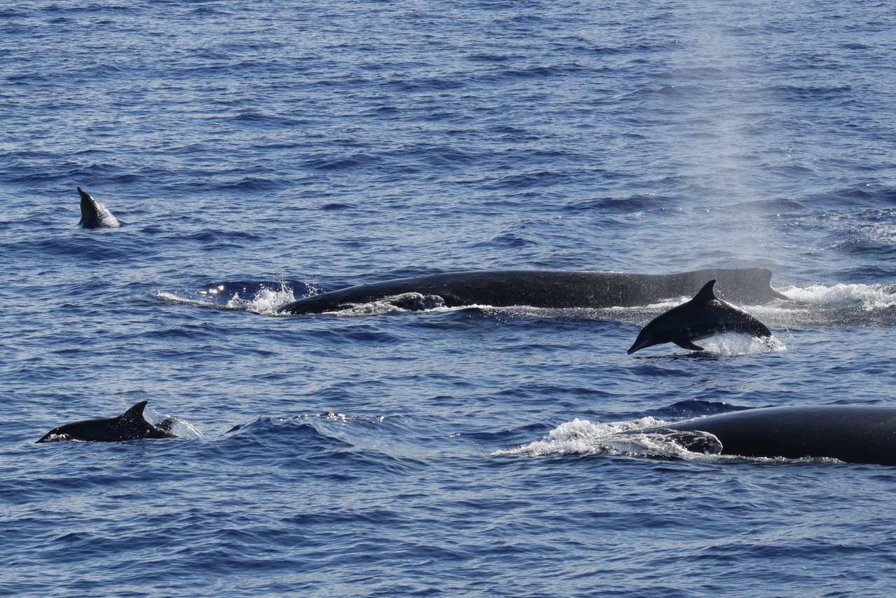 Rough-toothed dolphins swim circles around a group of humpback whales near Penguin Bank. Photo: NOAA Fisheries/Andrea Bendlin.