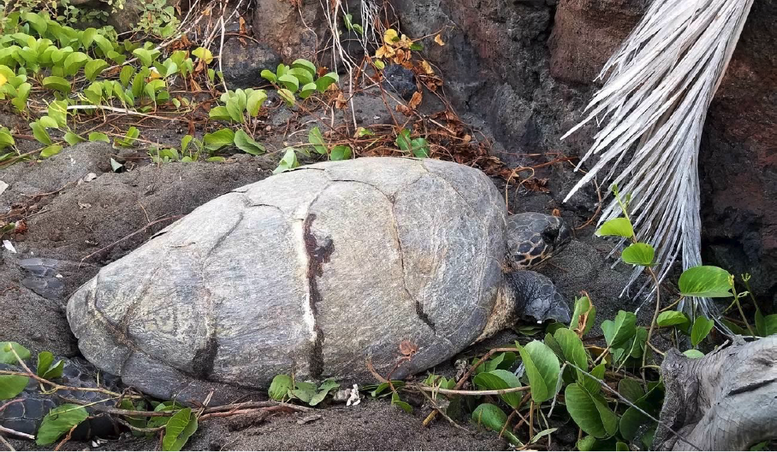 An adult hawksbill turtle nesting on Hawaiʻi Island. Photo: Hawaiʻi Island Hawksbill Project.