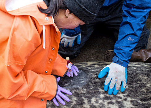 NOAA biologist Heather Ziel collects a blood sample from a captured harbor seal, Photo by Josh London