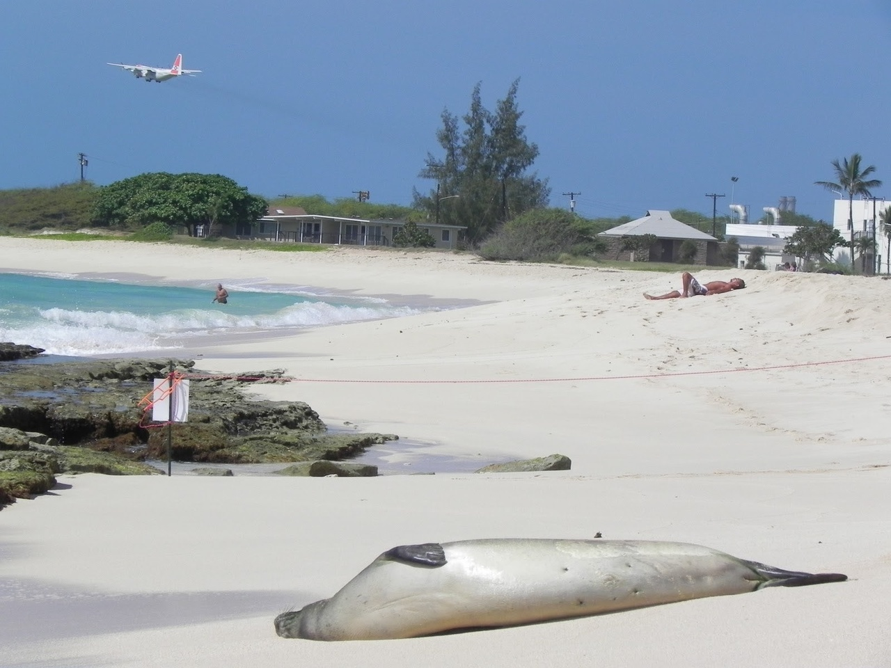 Hawaiian monk seal on beach, person in water in background, plane flying overhead.