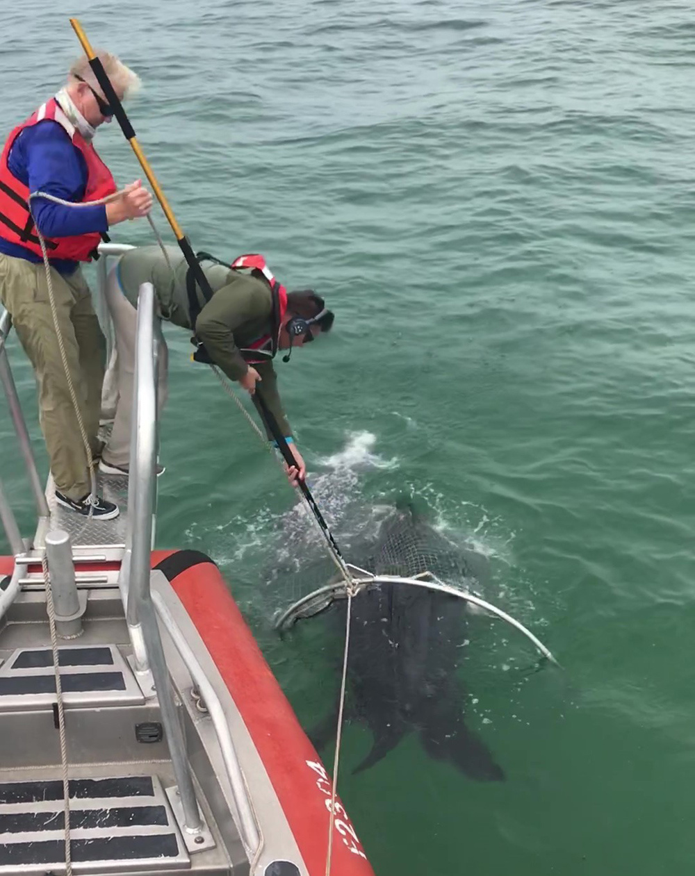 leatherback turtle captured in large net from boat