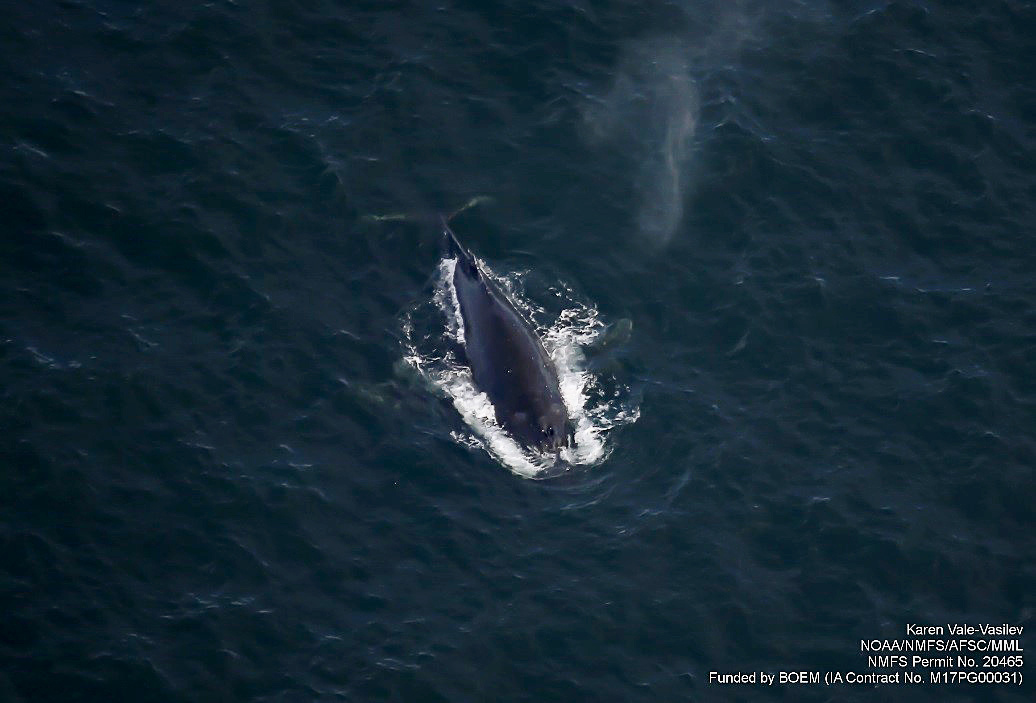 ASAMM Marine Mammals Aerial Survey, Humpback whale