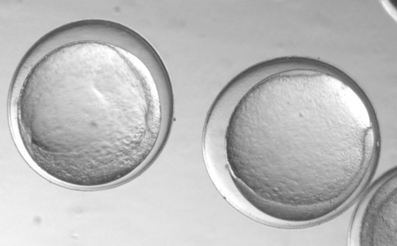 Pcod eggs just emerging out of the gastrulation stage (~1 wk oldat 5 degree C).