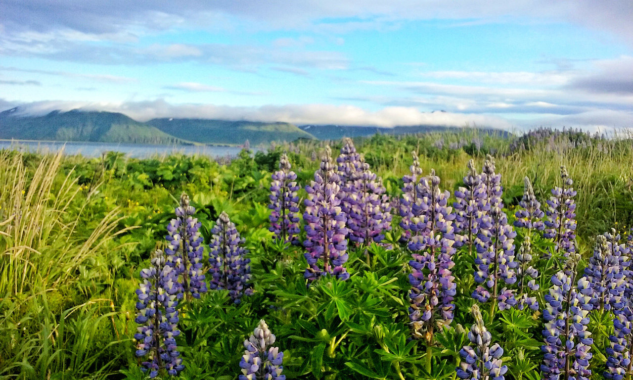 Lupines along the road in Dutch Harbor.