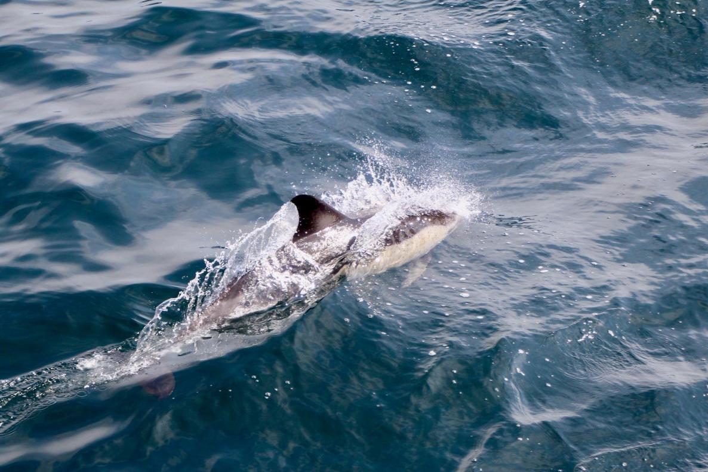 GU1902-common dolphin-hjw.jpg