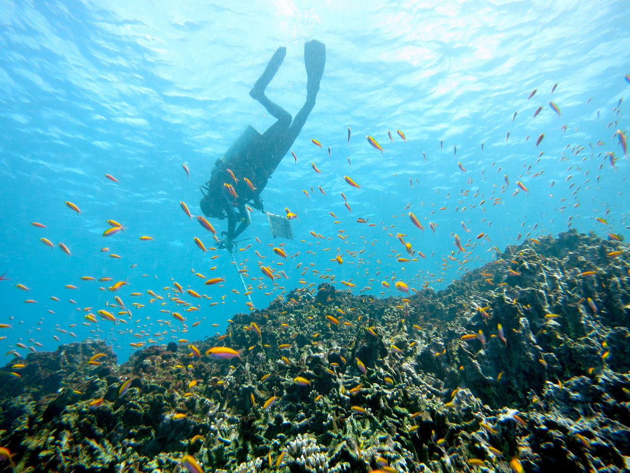 Diver conducts photoquad survey of reef at Jarvis Island.
