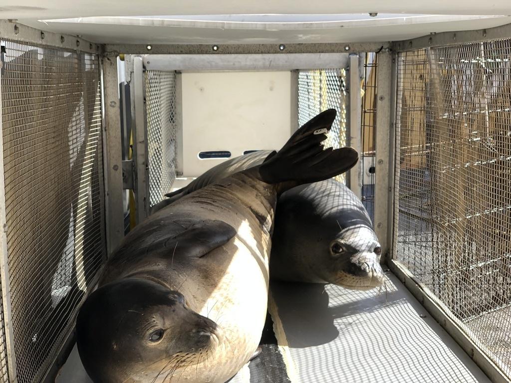 Rehabilitated monk seals, Maiapilo and ʻākulikuli,being transported to Laysan Island.