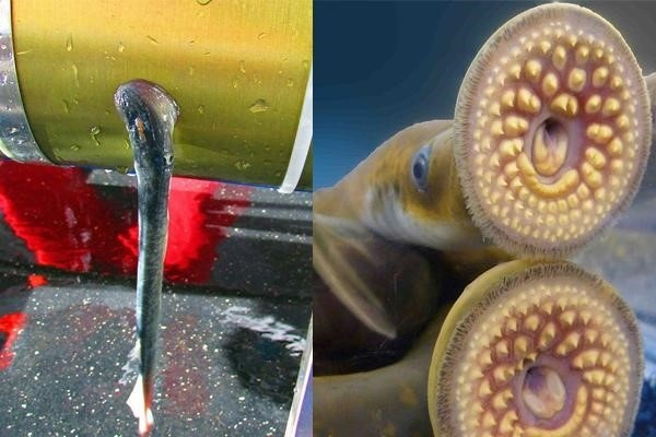 sea-lamprey-attached-to-ctd.jpg