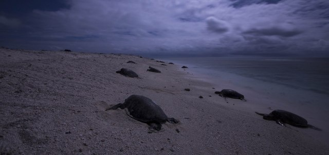 The sea turtle research team didn't need headlamps to see the turtles crawling up to nest when the moon was up. Photo: NOAA Fisheries/Jan Willem Staman.