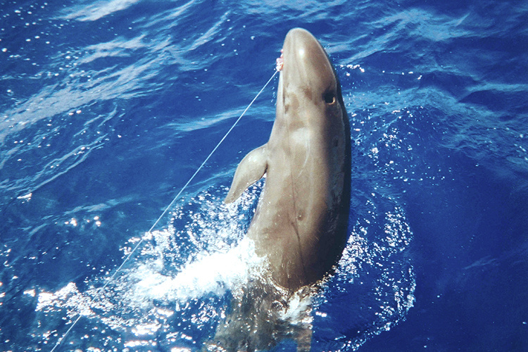 False killer whale on a fishing line in the waters.