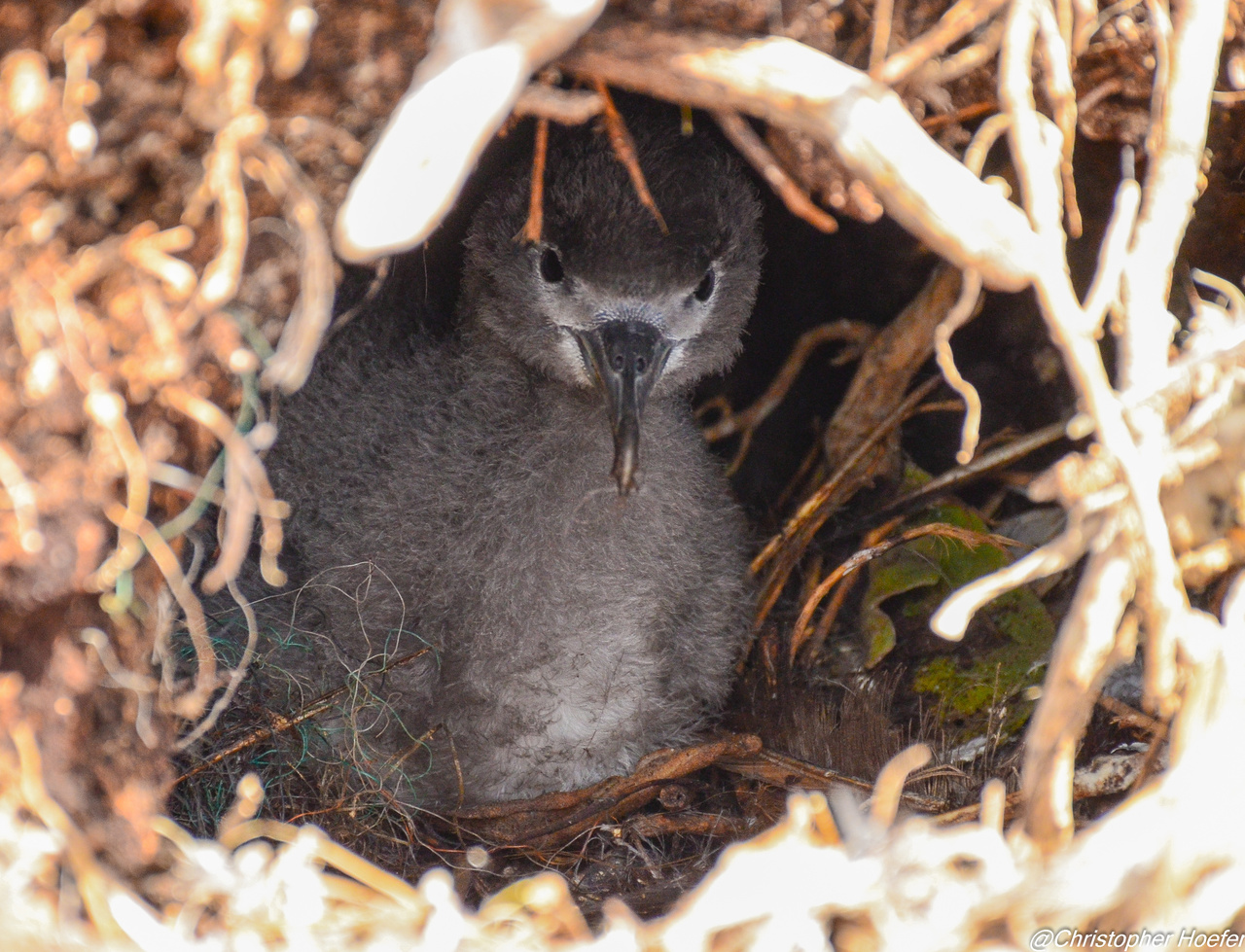 03_Wedge-tailed Shearwater chick.jpg