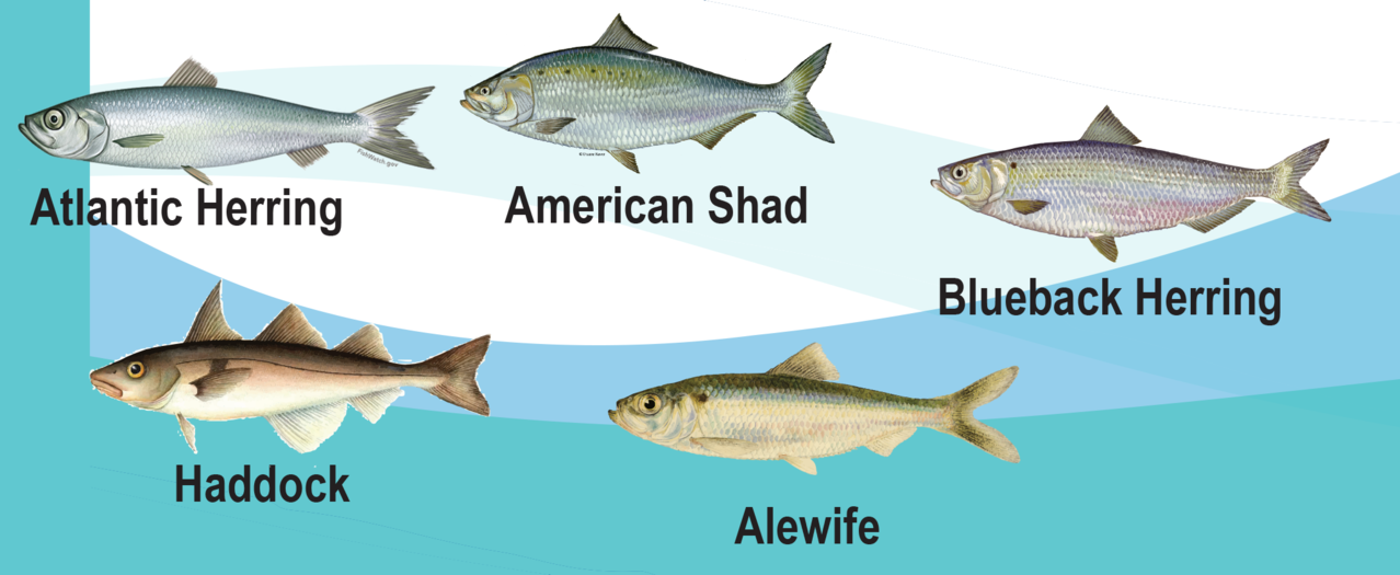 graphic showing species affected by IFM: Atlantic herring, American shad, blueback herring, haddock, and alewife