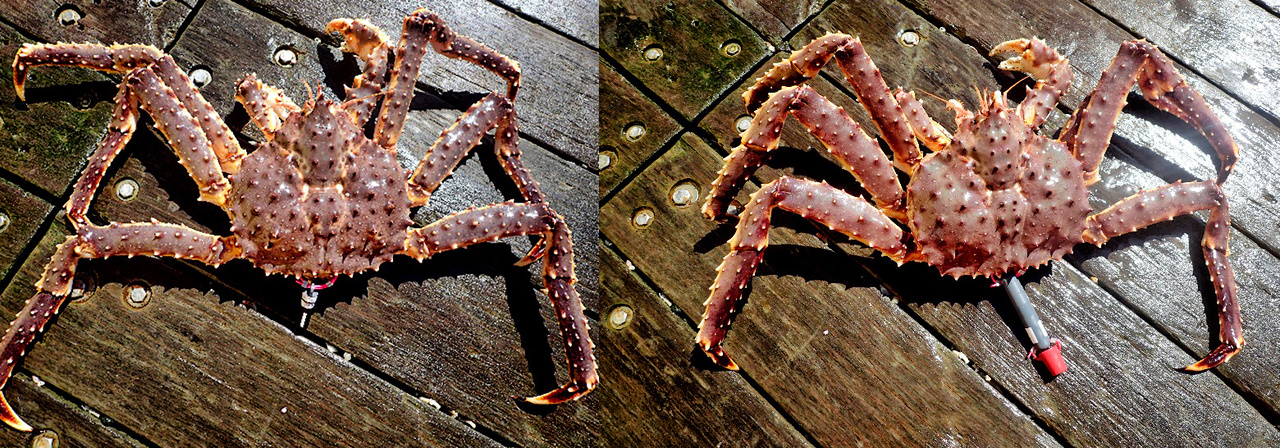 Red king crabs tagged with a small (left) and large (right) acoustic tag.