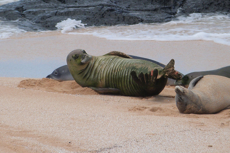 Three Hawaiian monk seals.