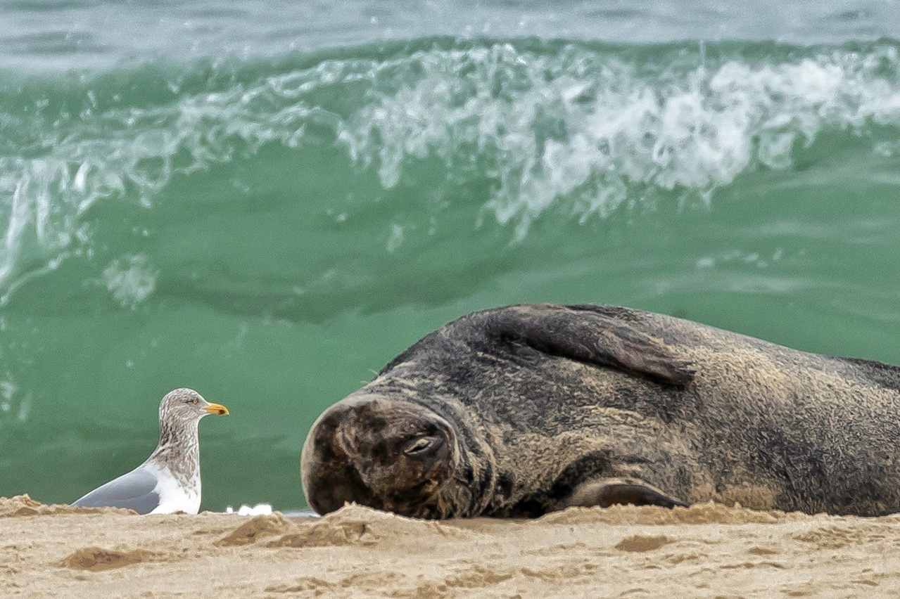 herring gull next to an adult gray seal laying on its side, ocean in background