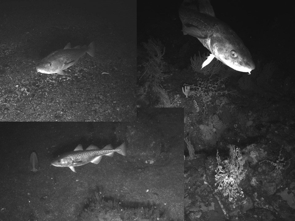 Black and white photos of Pacific cod in the Aleutian Islands