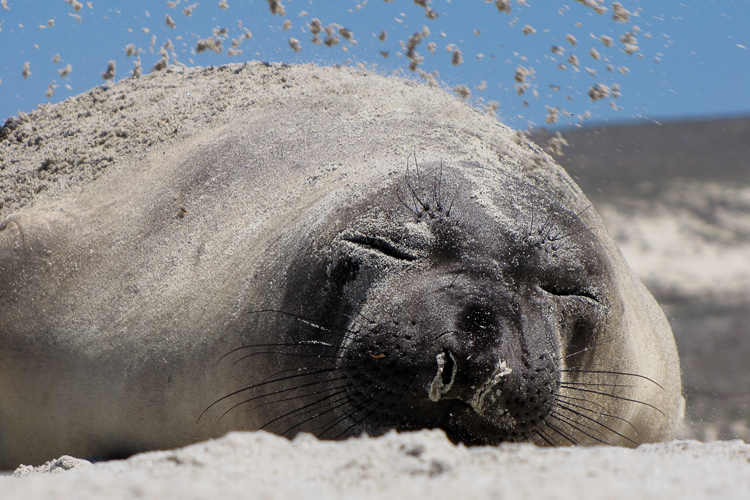 750x500-northern-elephant-seal-sand.png