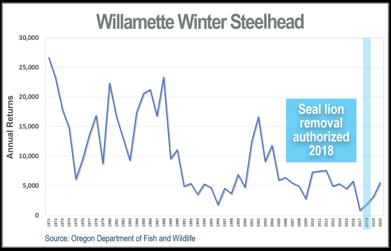 Line graph showing decline in Willamette Winter Steelhead annual returns, 1971-2020