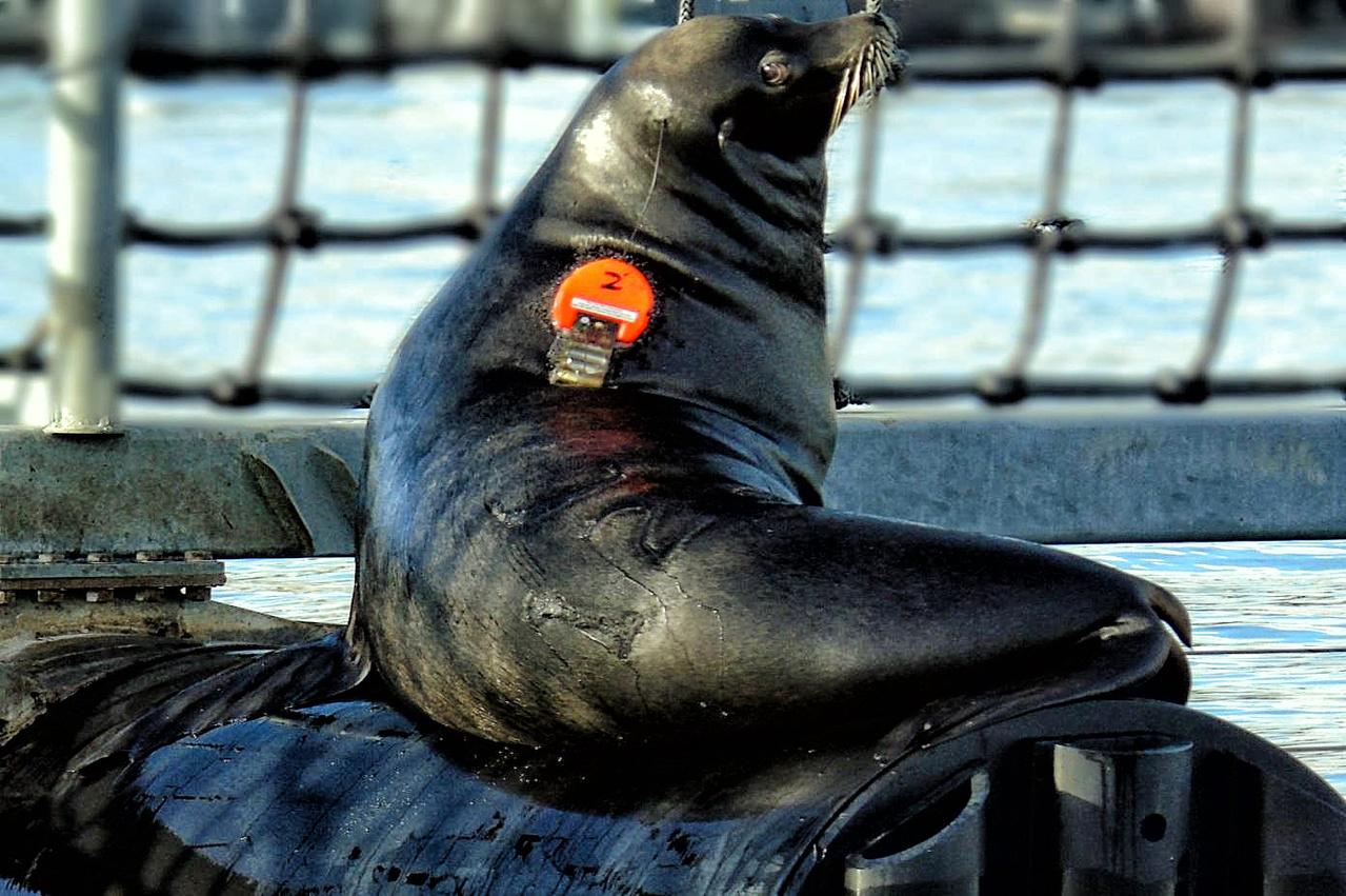 California Sea Lion Research