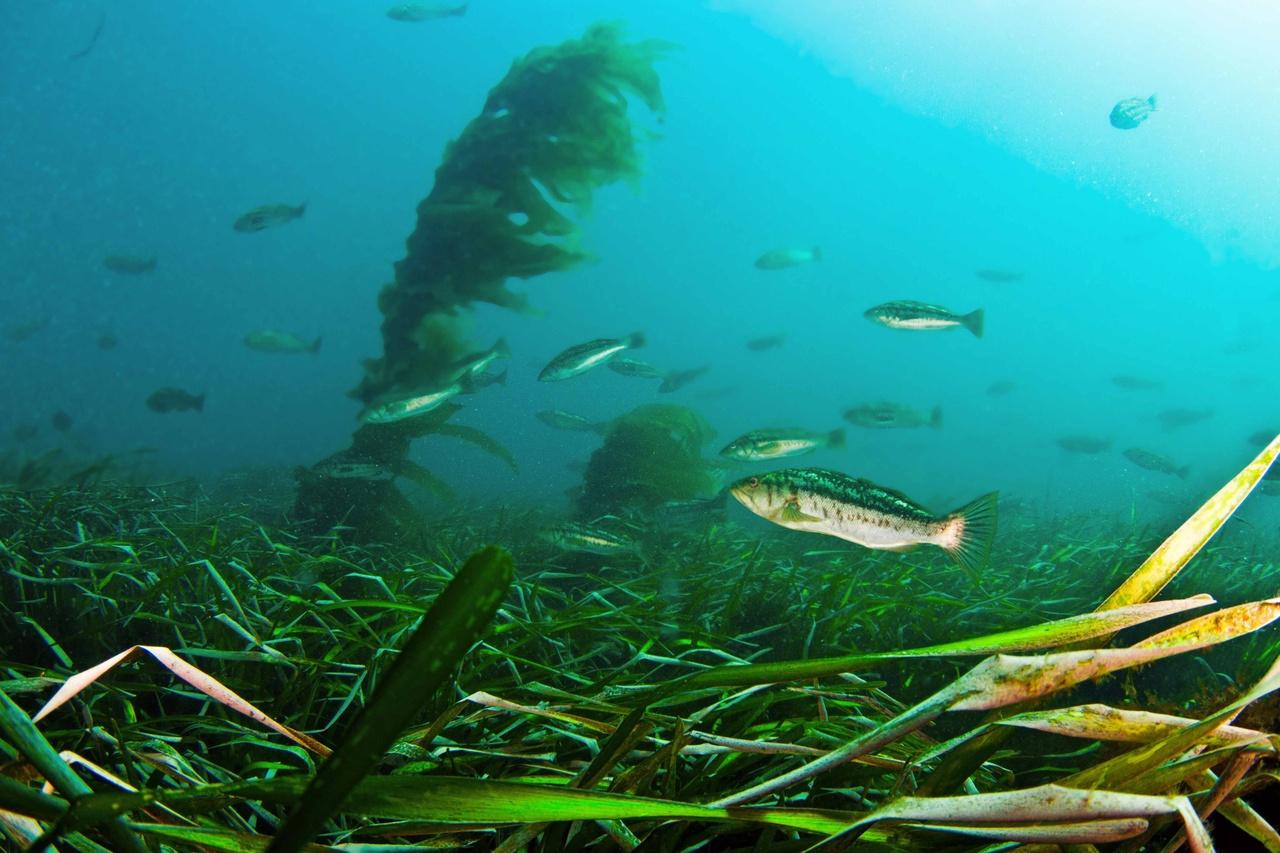 Kelp bass utilize offshore eelgrass habitat
