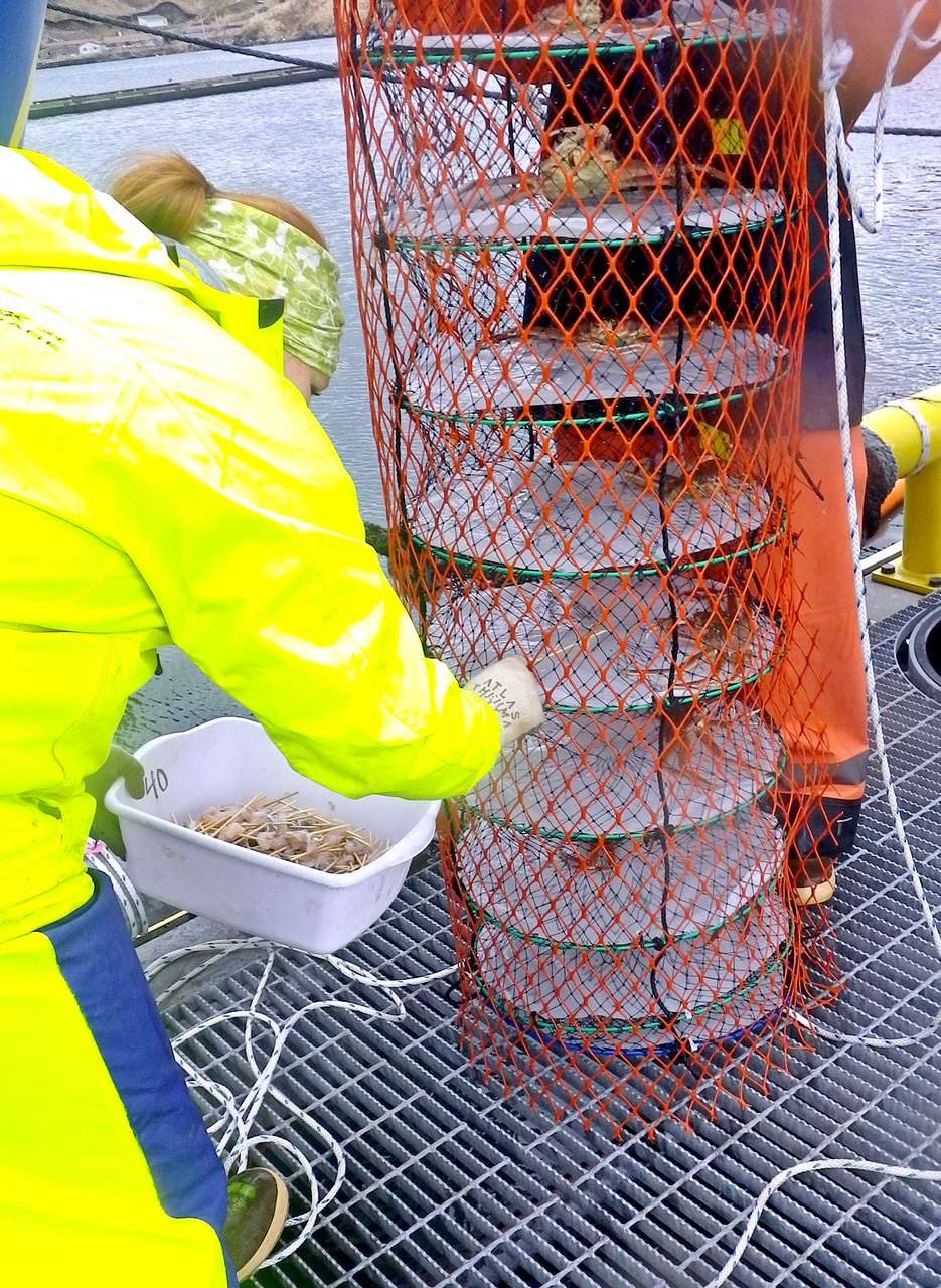 Sarah Johnson (Alaska Department of Fish and Game Observer) feeding crabs. Sarah is placing cod kebabs in lantern nets for the crabs. While crabs do not normally feed on live cod, they will accept a free fish dinner -- perhaps a little revenge on the cod, which is a predator of crabs.