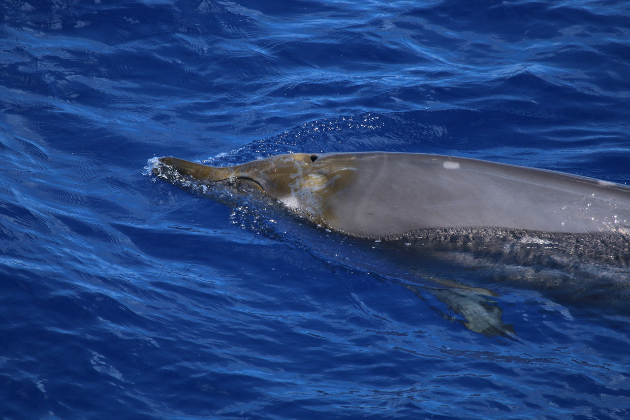 Gray brown beaked whale surfacing with head and front of body visible.