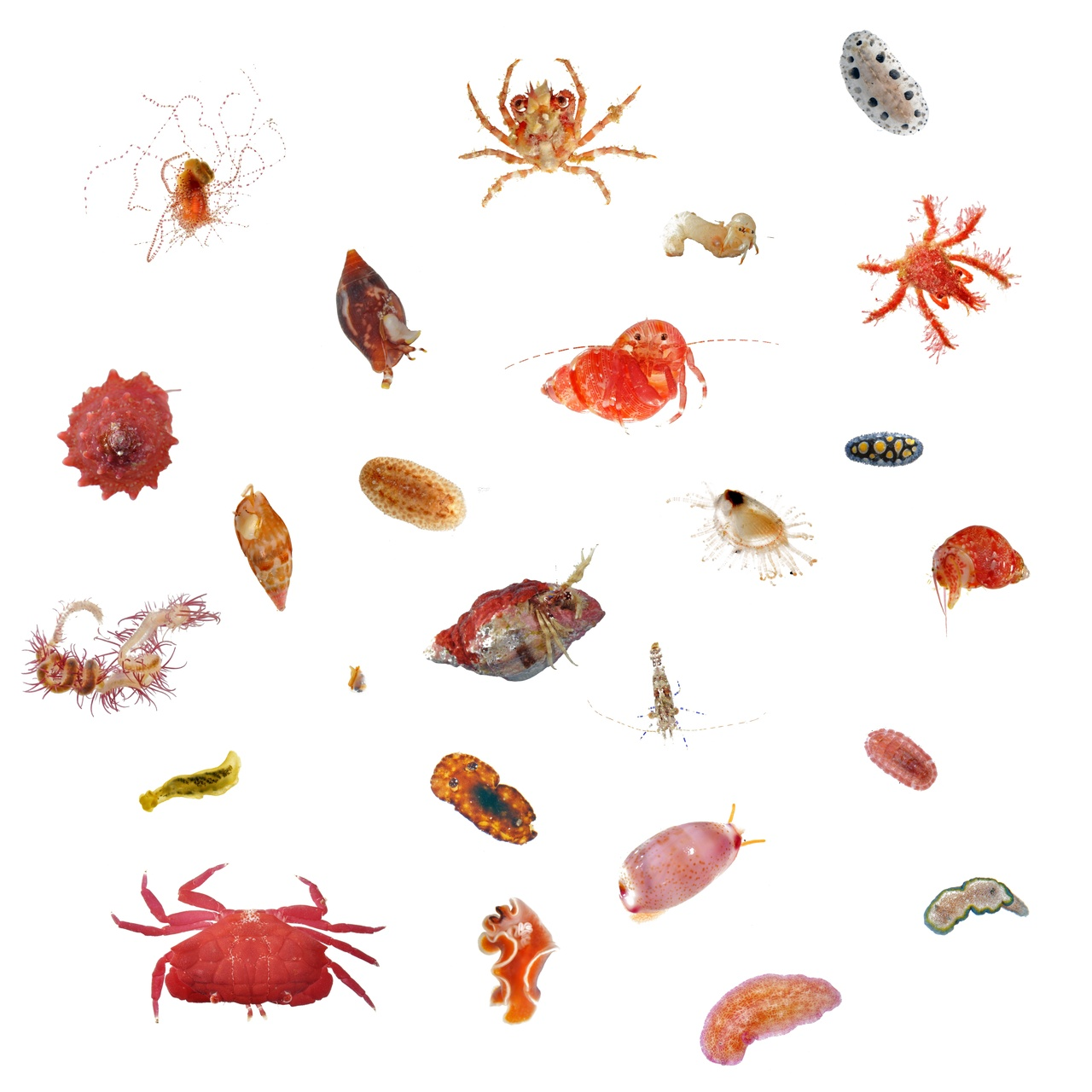 Here's a sample of some of the small sea creatures we find in the ARMS (autonomous reef monitoring structures). We get crabs, snails, nudibranchs, and shrimps, just to name a few! (Photo: NOAA Fisheries/Evan Barba)