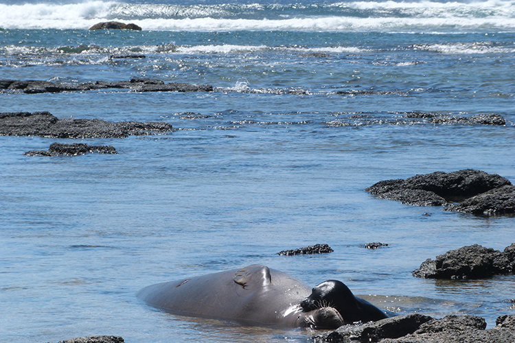 Hawaiian monk seal and her pup.