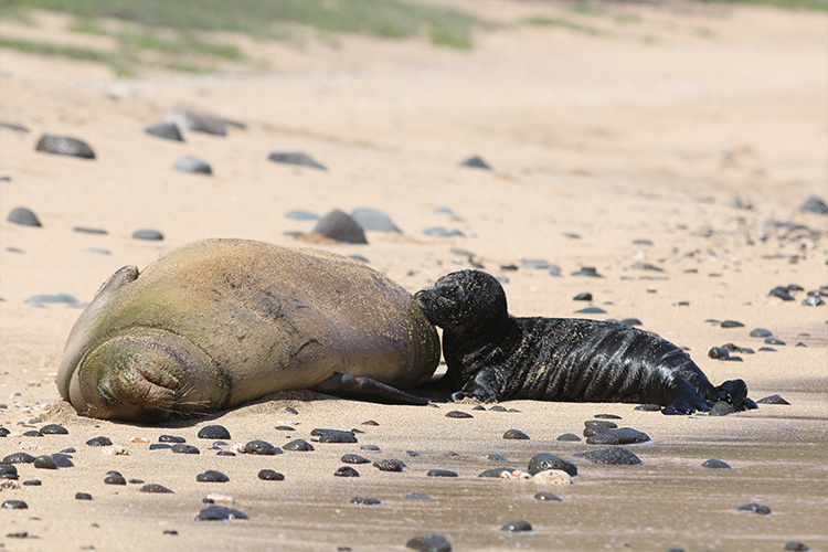 Mom monk seal nursing her pup on the beach.