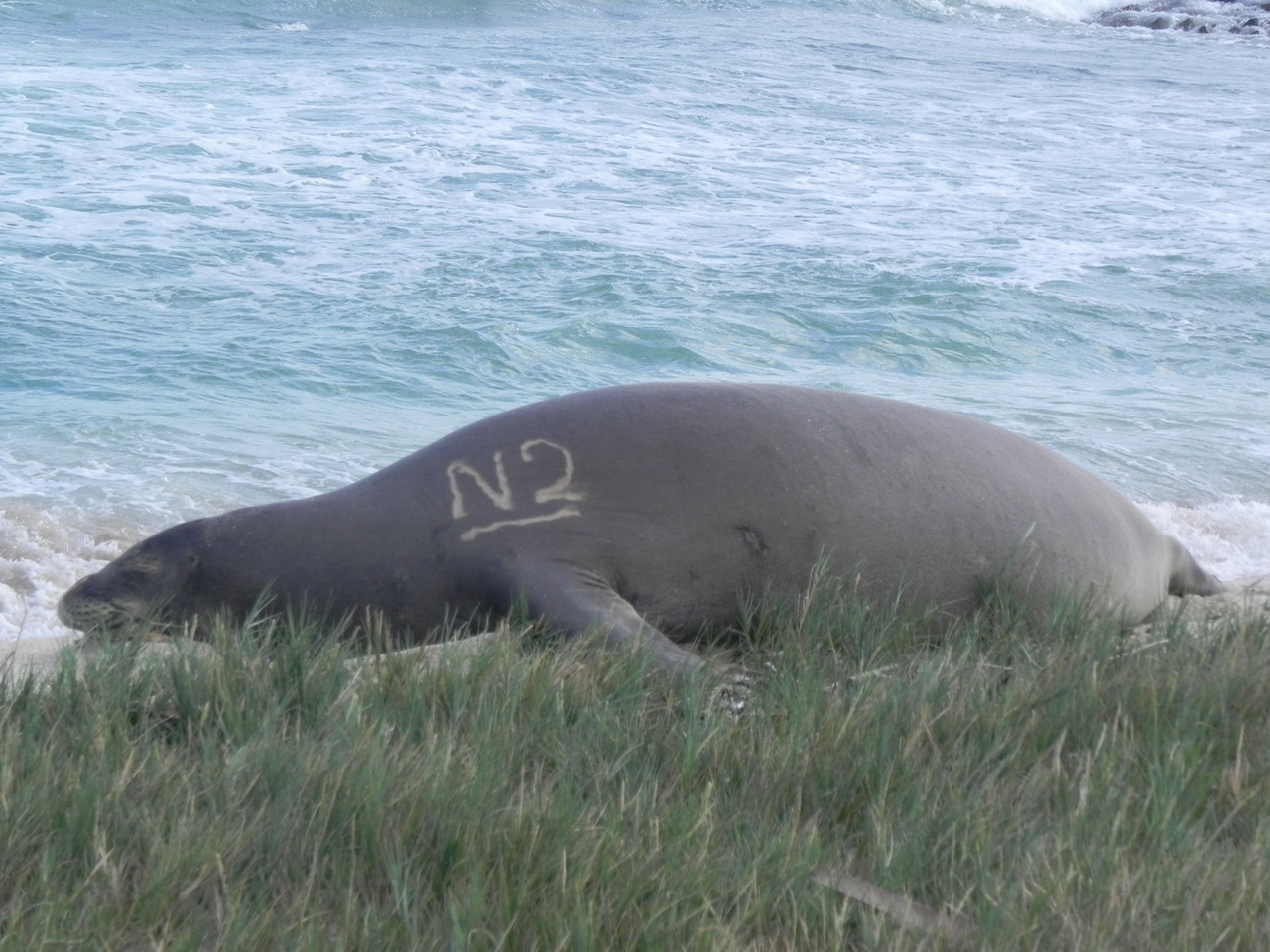 Monk seal on beach with vegetation in foreground and ocean behind. Bleach mark of N2 visible.
