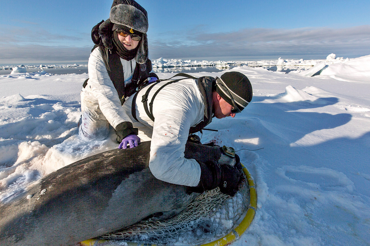 Despite a small dosage of valium, seals can still become stressed during the handling. To monitor vital signs and ensure the animal remains alert, the team includes a veterinarian. Here, Deb Fauquier, checks with Shawn Dahle to make sure the seal is doing well and ready for release.