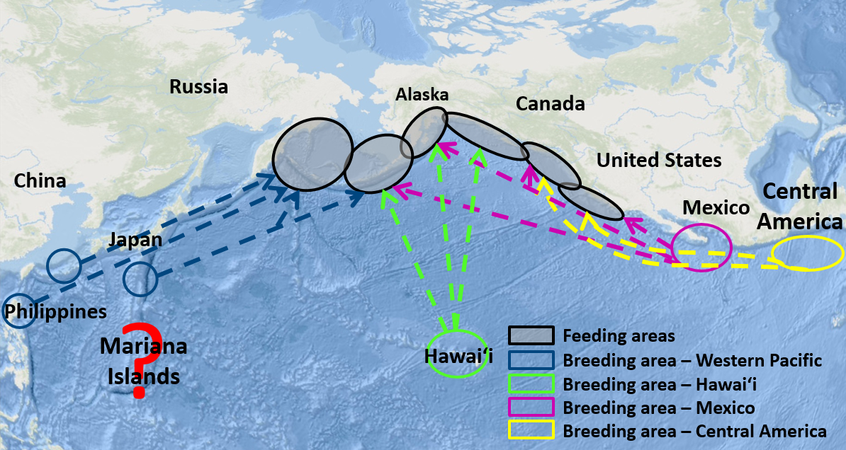 Map of humpback whale migration paths.
