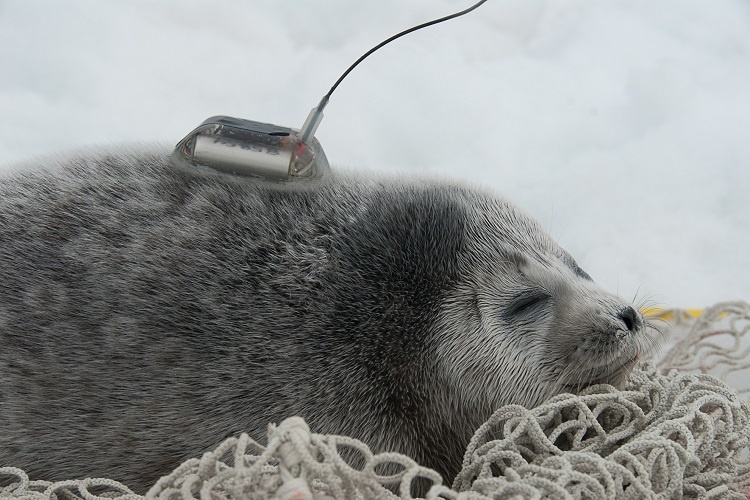 A tagged ringed seal.