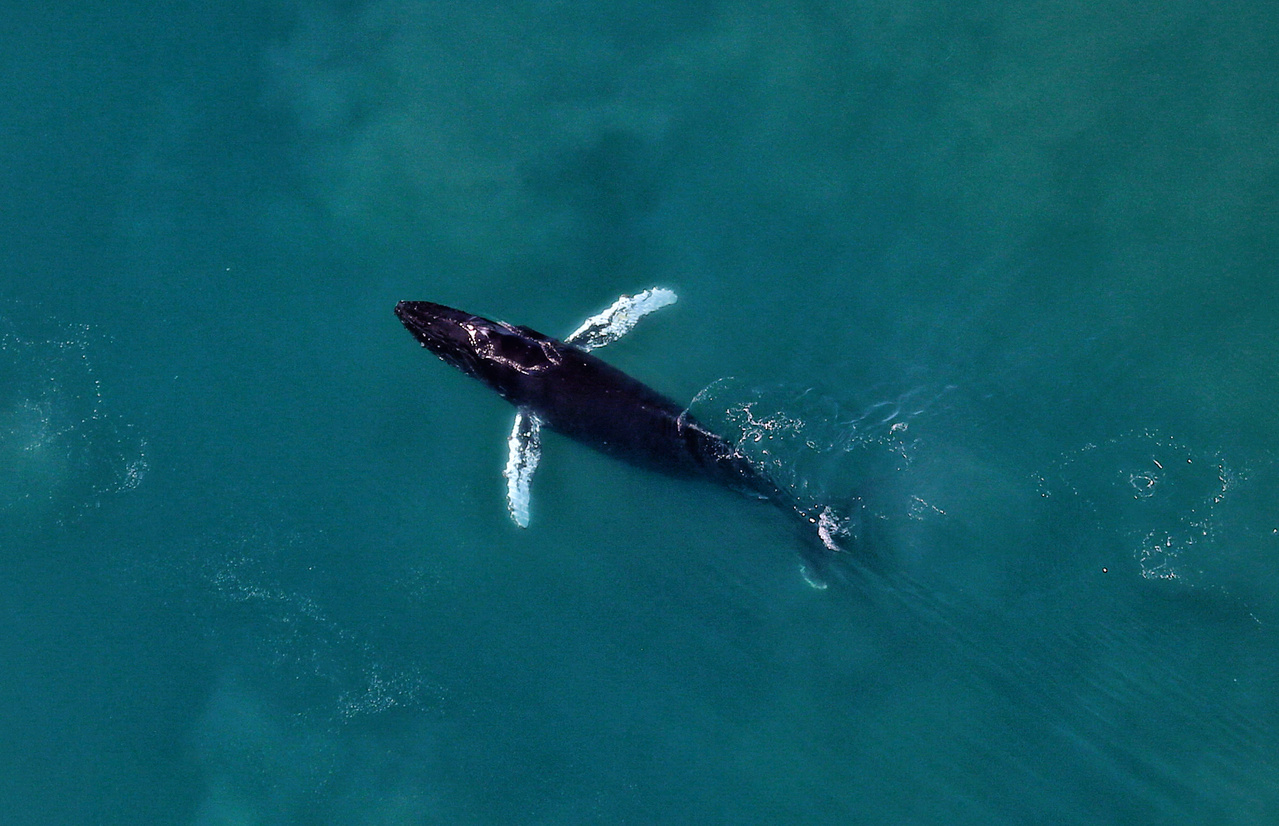 """This humpback whale was sighted in the southern range of our survey area in the eastern Chukchi Sea in early July, 2019. Note the long white pectoral flippers displayed to the sides of the whale in what is called """"airplane-ing""""."""