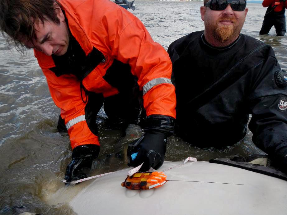 Acoustic Studies, beluga whale tagging