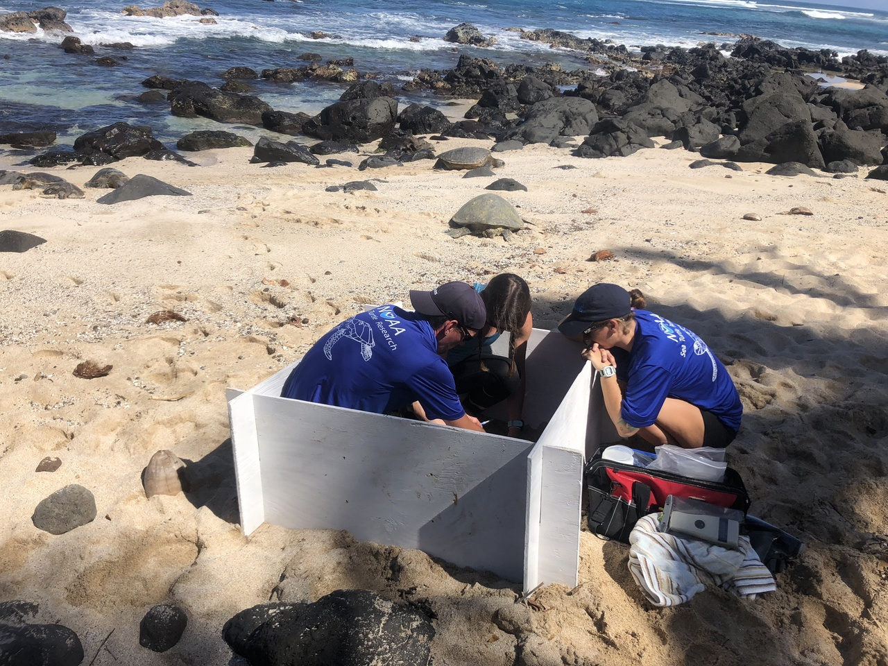 Researches measure a turtle in a confined box on the beach