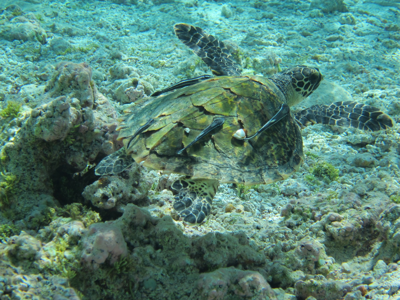 A juvenile hawksbill turtle glides over the top of coral reef habitat. Photo: NOAA Fisheries.
