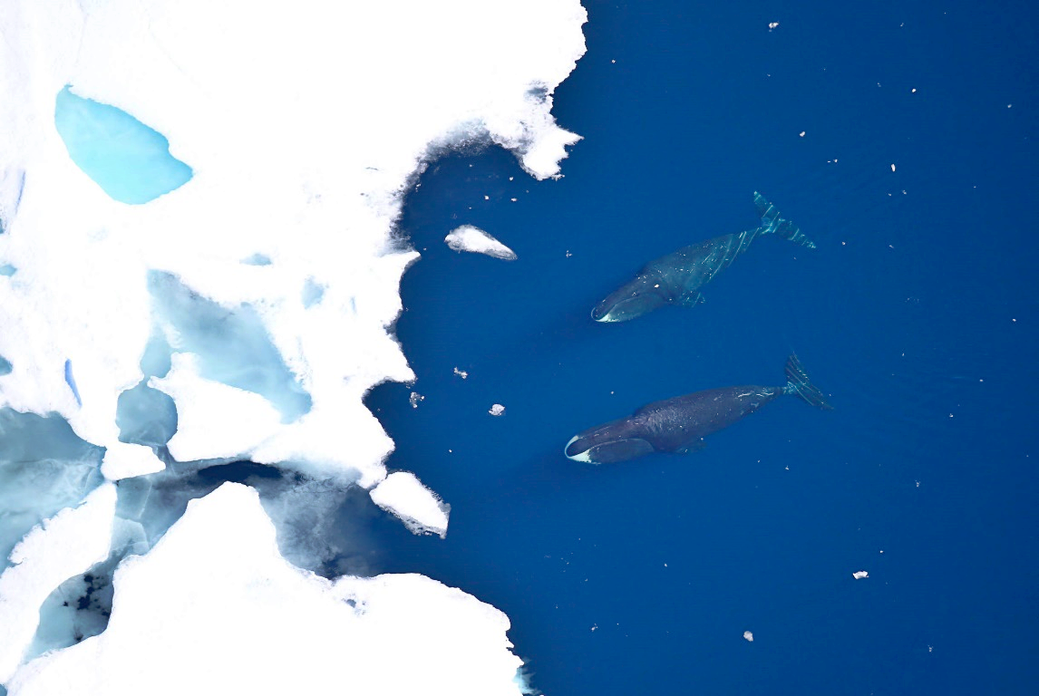 Bowhead whales approaching a large sheet of ice.