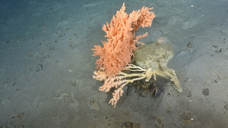 lobster-corals-4.jpg