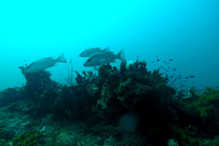 ROV image shows three gray snapper and a rock hind inspecting the camera on a Florida reef.