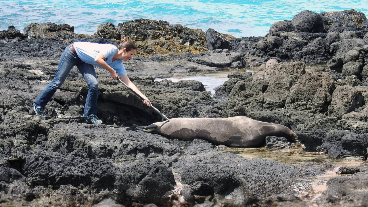 Trained staff person vaccinates a monk seal with a pole syringe
