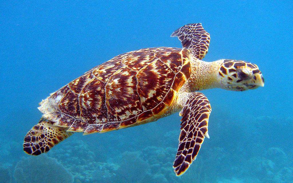 hawksbill-turtle-NOAA-Caroline-S-Rogers-flipped.jpg