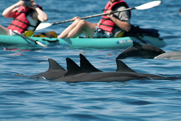 Kayakers are in a close interaction with four spinner dolphins.