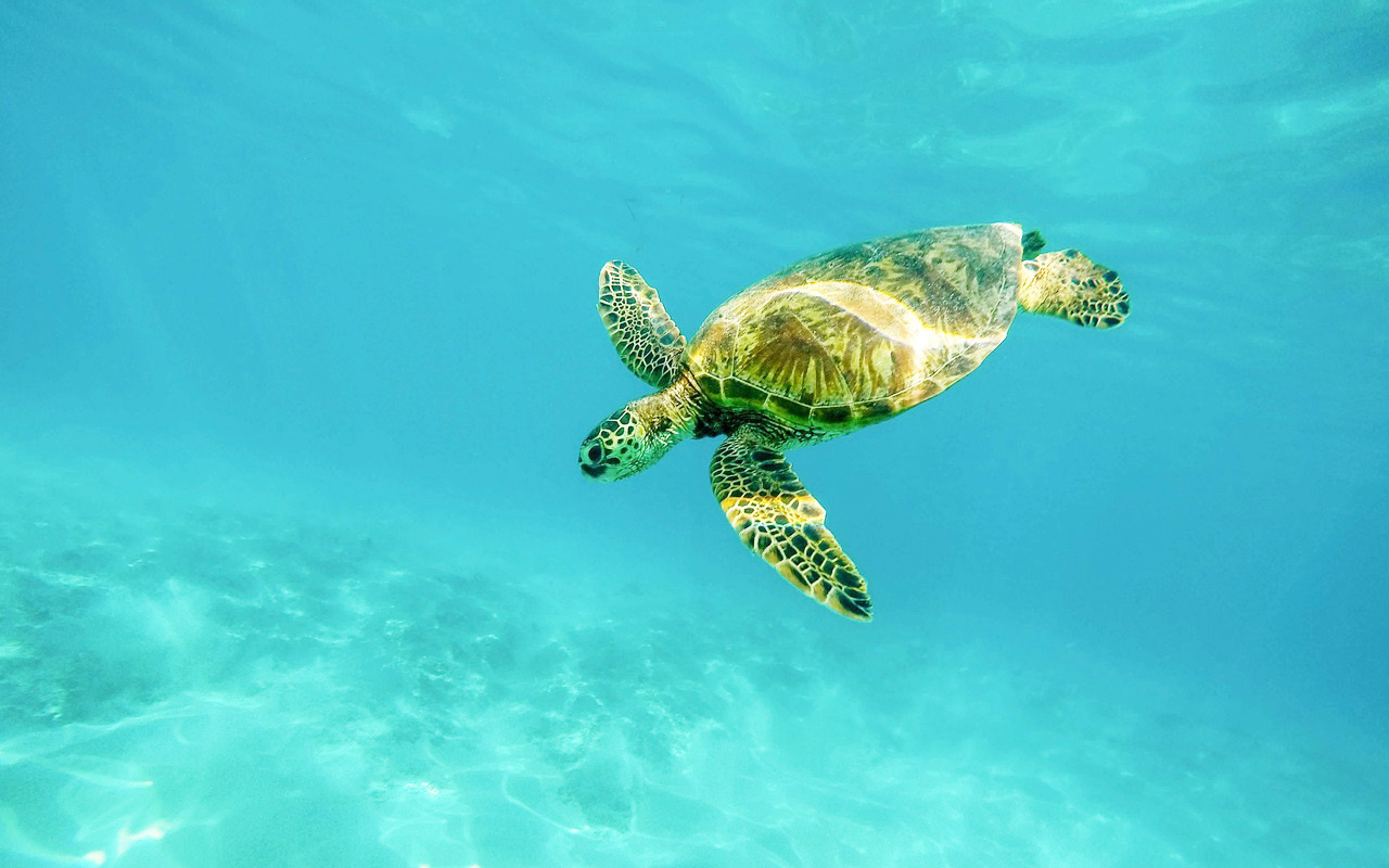 1280x800-diving-green-turtle.jpg