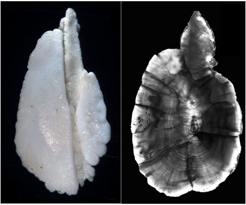 A whole and cross-sectioned otolith, or ear bone, from a salmon.