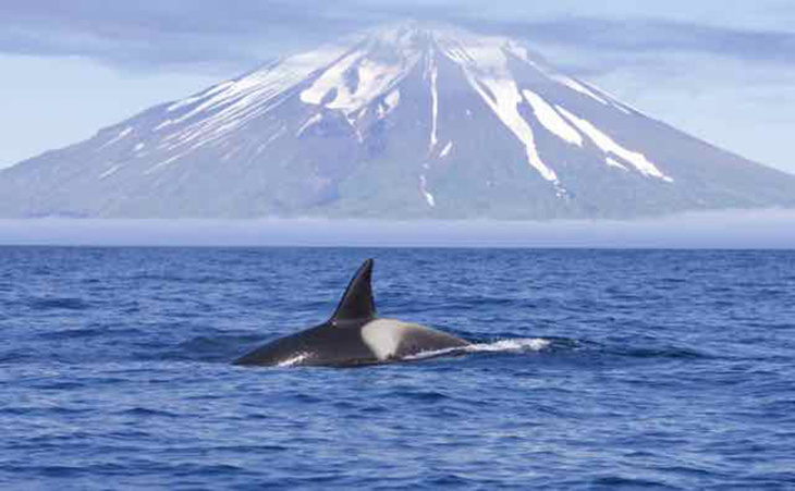 Killer whale spotted swimming along the Aleutian Island chain during first week of survey.
