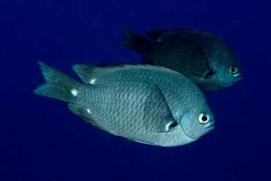 Chromis verater found in the lower mesophotic zone (59–129 m). Photo © Keoki Sender.